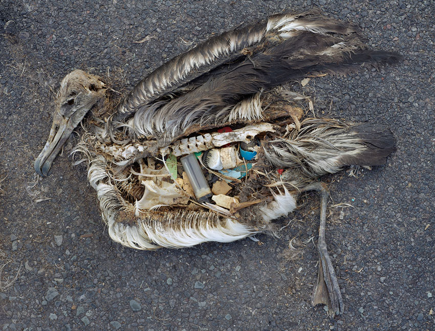 An albatross that ingested multiple pieces of plastic.